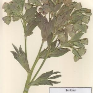 Photographie n°2236928 du taxon Helleborus foetidus L. [1753]