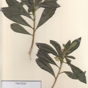 Photographie n°2236930 du taxon Daphne laureola L. [1753]
