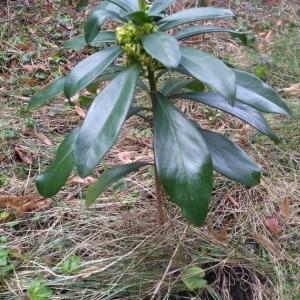 Photographie n°2236931 du taxon Daphne laureola L. [1753]