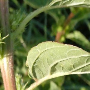Photographie n°2237054 du taxon Amaranthus L. [1753]