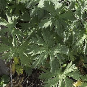 Photographie n°2237195 du taxon Geranium sylvaticum L. [1753]