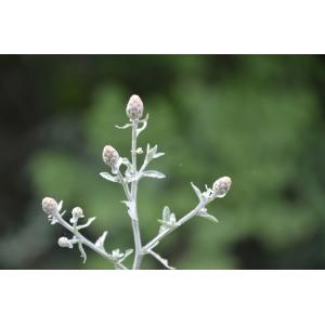 Centaurea cineraria L. (Centaurée cinéraire)