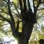 Quercus robur L. [nn75316] par nancyviguetcarrin@... le 09/09/2018 - Anjou