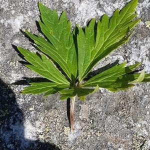 Photographie n°2238100 du taxon Aconitum napellus L. [1753]