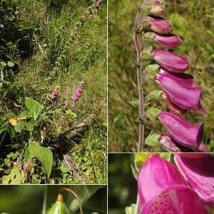 Photographie n°2238164 du taxon Digitalis purpurea L.
