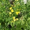 Dittrichia viscosa (L.) Greuter [nn] par aude Revalor le 09/09/2018