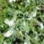 Heliotropium europaeum L. [nn] par aude Revalor le 09/09/2018