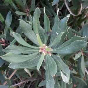 Photographie n°2238261 du taxon Myrica gale L. [1753]