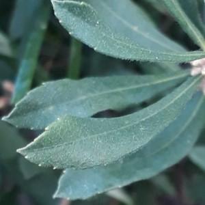 Photographie n°2238262 du taxon Myrica gale L. [1753]