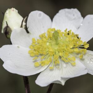 Photographie n°2238381 du taxon Rosa arvensis Huds.