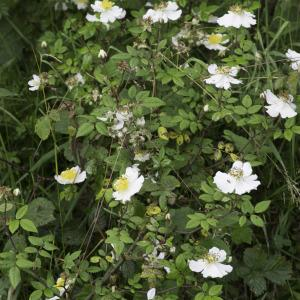 Photographie n°2238384 du taxon Rosa arvensis Huds. [1762]