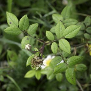 Photographie n°2238385 du taxon Rosa arvensis Huds.