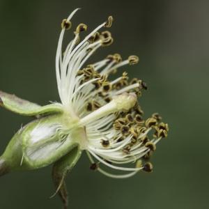 Photographie n°2238386 du taxon Rosa arvensis Huds.