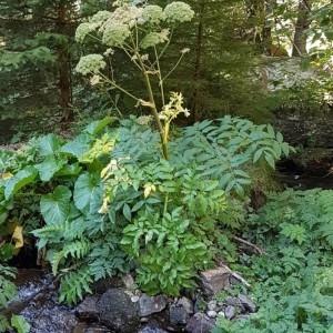 Photographie n°2238424 du taxon Angelica sylvestris L. [1753]