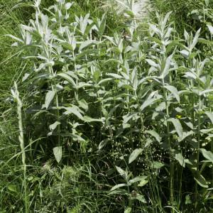 Photographie n°2239153 du taxon Mentha longifolia (L.) Huds. [1762]