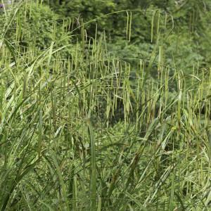 Photographie n°2239255 du taxon Carex pendula Huds.