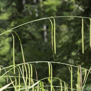 Photographie n°2239256 du taxon Carex pendula Huds.