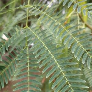 Photographie n°2239452 du taxon Leucaena leucocephala (Lam.) de Wit [1961]