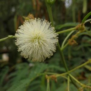 Photographie n°2239453 du taxon Leucaena leucocephala (Lam.) de Wit [1961]