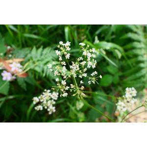 Physospermum cornubiense (L.) DC. (Physosperme à feuilles d'ancolie)