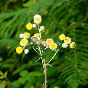 Photographie n°2239685 du taxon Helichrysum foetidum (L.) Moench [1794]