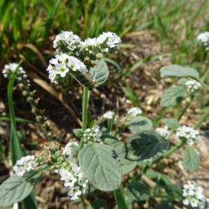 Photographie n°2240081 du taxon Primulaceae