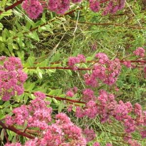 Photographie n°2240197 du taxon Hylotelephium telephium (L.) H.Ohba [1977]