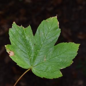 Photographie n°2240776 du taxon Acer pseudoplatanus L.