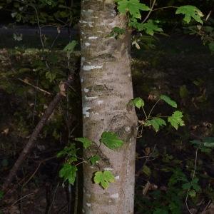 Photographie n°2240777 du taxon Acer pseudoplatanus L.