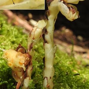 Photographie n°2240855 du taxon Monotropa hypopitys subsp. hypophegea (Wallr.) Holmboe [1922]