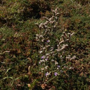 Photographie n°2240933 du taxon Limonium dodartii (Girard) Kuntze