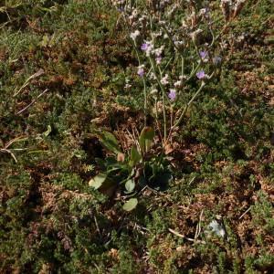 Photographie n°2240934 du taxon Limonium dodartii (Girard) Kuntze