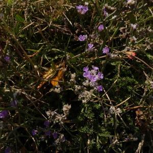 - Limonium dodartii (Girard) Kuntze