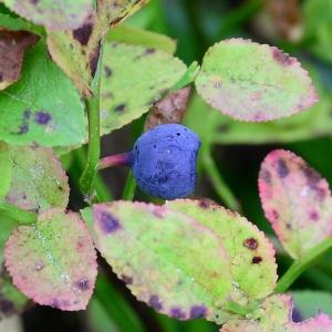 Photographie n°2241141 du taxon Vaccinium myrtillus L.