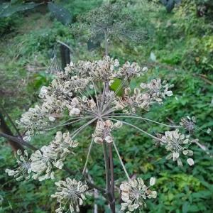 Photographie n°2241268 du taxon Angelica sylvestris L. [1753]