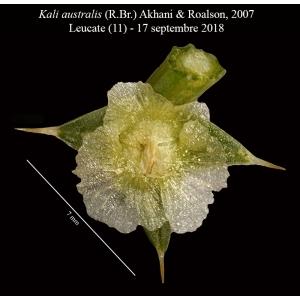 Kali australis (R.Br.) Akhani & E.H.Roalson (Soude de Ruthénie)