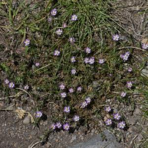Photographie n°2241549 du taxon Spergula rubra (L.) D.Dietr. [1840]