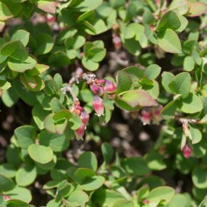 Photographie n°2241557 du taxon Vaccinium uliginosum L. [1753]
