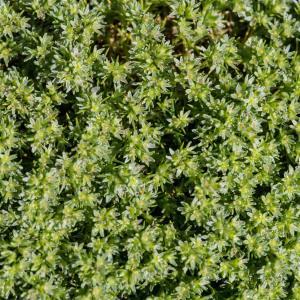 Photographie n°2241559 du taxon Vaccinium uliginosum L. [1753]