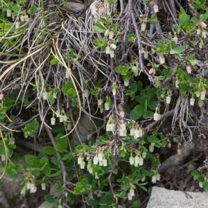 Photographie n°2241563 du taxon Vaccinium uliginosum L. [1753]
