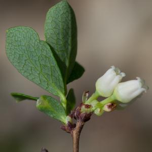 Photographie n°2241569 du taxon Vaccinium uliginosum L. [1753]