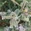 Heliotropium europaeum L. [nn] par Rosma le 19/09/2018 - Aix-en-Provence