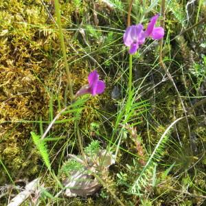 Photographie n°2242054 du taxon Vicia angustifolia L. [1759]