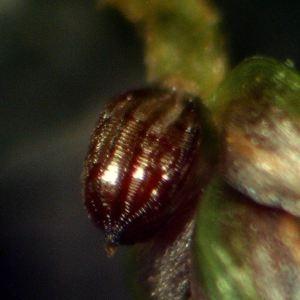 Photographie n°2242077 du taxon Scirpus setaceus L. [1753]