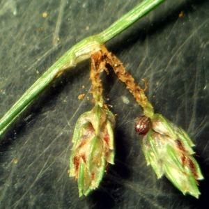 Photographie n°2242078 du taxon Scirpus setaceus L. [1753]