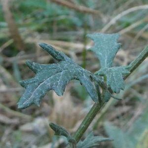 Photographie n°2242150 du taxon Jacobaea erucifolia (L.) G.Gaertn., B.Mey. & Scherb. [1801]