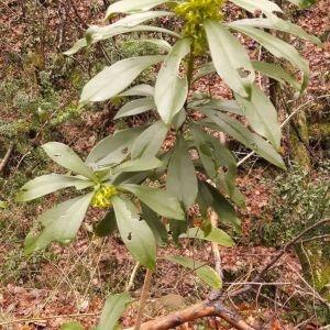 Photographie n°2242626 du taxon Daphne laureola L. [1753]