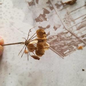 Photographie n°2242631 du taxon Angelica sylvestris L. [1753]