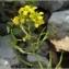 Pat Desnos - Rorippa amphibia (L.) Besser