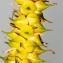 Jean-Jacques Houdré - Carex rostrata Stokes